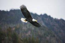 Kahladler im Flug mit Flügeln in einem blauen Himmel ausgebreitet — Stockfoto