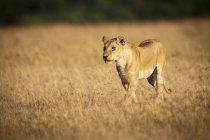 Vista panoramica del maestoso Leone nel campo nella natura selvaggia — Foto stock