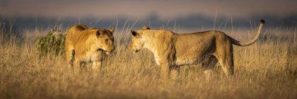 Malerischer Blick auf majestätische Löwen in wilder Natur — Stockfoto