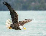 Лысый орел в полете с крыльями, раскинутыми в голубом небе — стоковое фото
