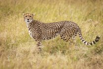 Selective focus shot of majestic cheetah in wild nature — Stock Photo