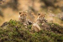 Lindos y majestuosos guepardos en la naturaleza salvaje - foto de stock