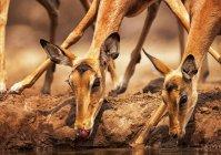 Lindos hermoso impalas en riego en naturaleza salvaje - foto de stock