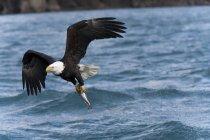 Aigle chauve en vol avec des ailes écartées avec des poissons au-dessus de l'eau — Photo de stock