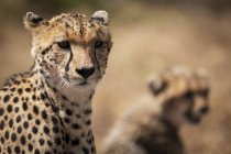 Focus selettivo colpo di maestoso ghepardo nella natura selvaggia — Foto stock