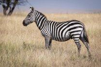 Llanuras cebra de pie en la hierba cerca de árbol en la vida salvaje - foto de stock