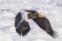 Стеларс морской орел летать в небе — стоковое фото