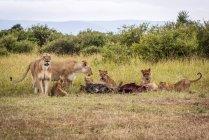 Львицы, охраняющие пятерых детенышей, питающихся тушей гну, Национальный заповедник Масаи Мара; Кения — стоковое фото