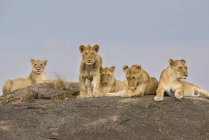 Lionesses laying on a rock, Maasai Mara National Reserve; Kenya — стоковое фото