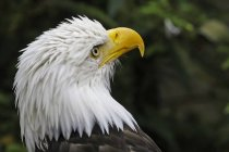 Vista de cerca de la cabeza de un American Bald Eagle - foto de stock