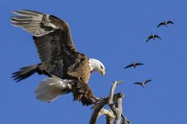 American Bald Eagle landing on a tree branch with a flock of Canada geese flying overhead — Stock Photo