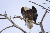 American Eagle perched in a tree against a blue sky and looking down — Stock Photo