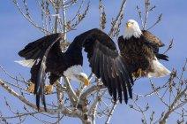 Американские орлы сидели на дереве на фоне голубого неба — стоковое фото