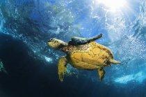 Tortue de mer verte d'Hawaï (Chelonia mydas) nageant dans des eaux claires et bleues avec coups de soleil ; Makena, Maui, Hawaii, États-Unis d'Amérique — Photo de stock