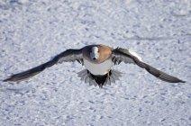 Widgeon américain survolant la neige, vue rapprochée — Photo de stock