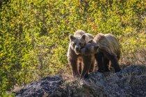 Urso pardo e seu filhote na natureza selvagem — Fotografia de Stock