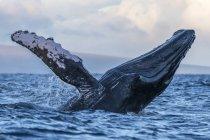 Maestosa megattera nuotare nell'acqua blu dell'oceano — Foto stock