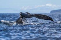 Горбатий кит хвоста над синім океаном — стокове фото