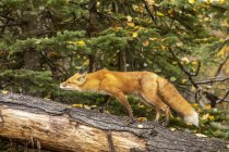 Cute red fox in wild nature — Stock Photo