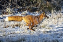 Lindo zorro en la nieve del invierno - foto de stock