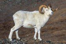 Dall Овец барана стоял в высокой стране в Денали Национальный парк и заповедник в ИнтерьерАляска, Аляска, Соединенные Штаты Америки — стоковое фото