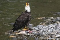 Bald eagle eating a fresh caught fish at the water — Stock Photo