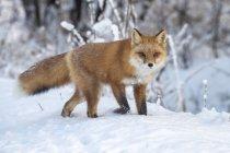Renard roux mignon dans la neige d'hiver — Photo de stock
