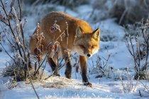 Raposa-vermelha bonita na neve do inverno — Fotografia de Stock