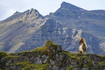 Icelandic horse in the natural landscape, Iceland — Photo de stock