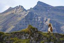 Islandpferd in der Naturlandschaft, Island — Stockfoto