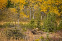 Scenic view of big bull moose in grass at forest — Stock Photo