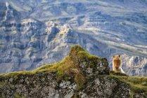 Исландская лошадь в природном ландшафте Исландии — стоковое фото