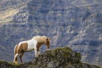 Icelandic horse in the natural landscape, Iceland — стоковое фото