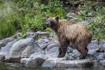 Медведь гризли вдоль берега реки Таку; Атлин, Британская Колумбия, Канада — стоковое фото