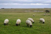 Pecora nera che mangia erba in un campo, Isola Santa, Northumberland, Inghilterra — Foto stock