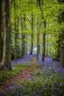 Percorso attraverso BlueBell boschivi, Great High Wood; Durham, Contea di Durham, Inghilterra — Foto stock