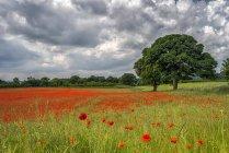 Château d'Aydon champ de pavot en pleine floraison ; Corbridge, Northumberland, Angleterre — Photo de stock
