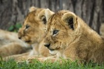 Close-up of lion cubs lying beside each other at wild nature — Foto stock