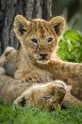 Лев дитинчата лежав у траві на дереві — стокове фото