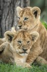 Close-up view of lion cubs having fun — Stock Photo