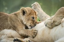 Close-up of lioness on back with suckling cub - foto de stock