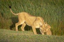Cabeça de agarramento do filhote de leão da leoa na grama — Fotografia de Stock