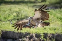 Ruppell griffon vulture lands with wings spread — Stock Photo
