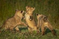 Tre cuccioli di leone giocano combattendo sull'erba, Parco Nazionale del Serengeti; Tanzania — Foto stock