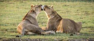 Two lionesses licking each other on grass — Stock Photo