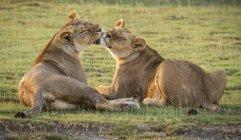 Две львицы лизали друг друга на траве — стоковое фото