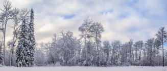 Snow-covered trees in a forest in winter; Thunder Bay, Ontario, Canada — Stock Photo