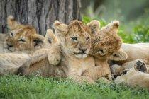 Cachorros de león lindo en la vida salvaje - foto de stock