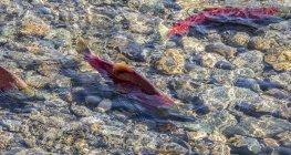 Saumon rouge dans la rivière Shuswap, Colombie-Britannique, Canada — Photo de stock