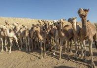 Primo piano dei cammelli al mercato del bestiame del lunedì; Keren, Regione di Anseba, Eritrea — Foto stock